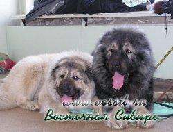 Файв Стиль Белла 3,5 года (слева) и Русский Риск Непокоримый 15 мес (справа)