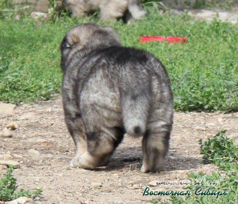 Щенки кавказской овчарки рождения 1.07.2016