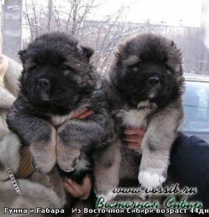 Габара из Восточной Сибири и Гунна из Восточной Сибири 44 дня