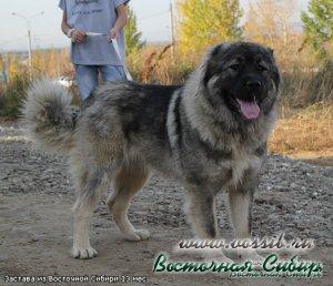 Кавказская овчарка Застава из Восточной Сибири