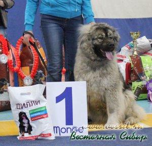 кавказская овчарка Лав Стори из Восточной Сибири 1-е отлично КЧК